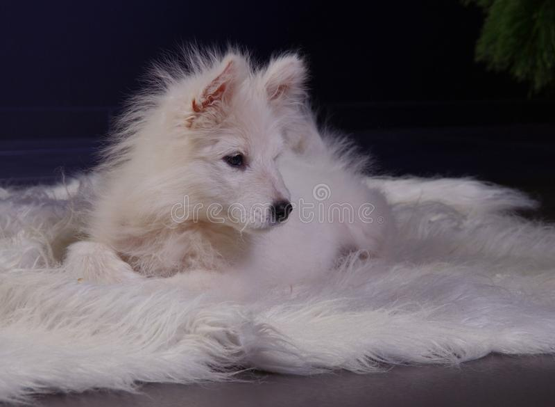 Samoyedhundewelpe stockfotografie