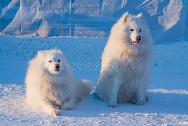 Samoyedo blanco septentrional Laika, perro de Pomerania de dos perros del samoyedo imagen de archivo