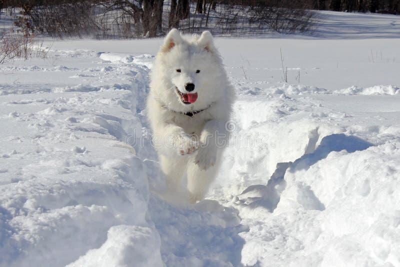 Samoyedo en la nieve fotos de archivo libres de regalías