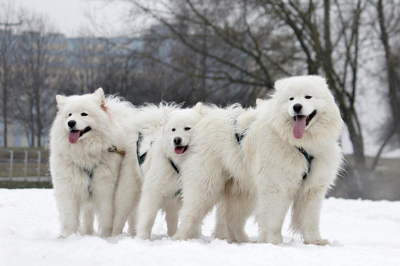 Northern draft dogs royalty free stock photo