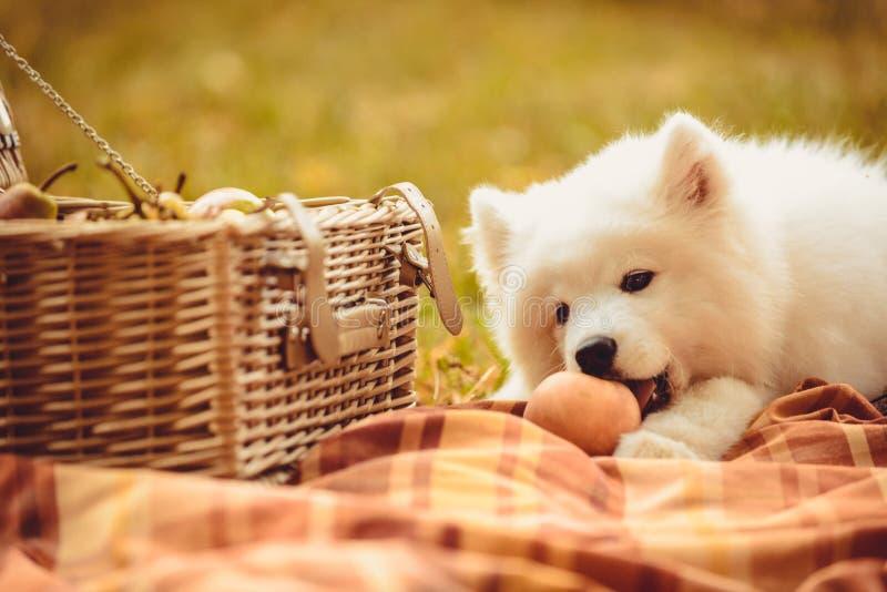 Samoyedwelpe, der Pfirsich auf dem einfachen nahen Picknickkorb isst lizenzfreie stockbilder