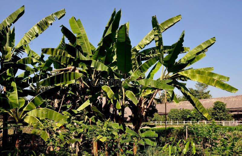 Sampan, Thailand: Grove of Banana Trees stock photo