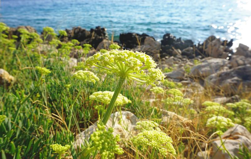 Samphire Crithmum maritimum, healthy and edible Mediterranean herb royalty free stock image