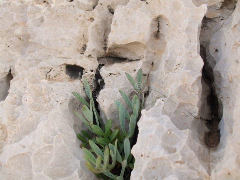 Samphire s'élevant dans la roche photo libre de droits
