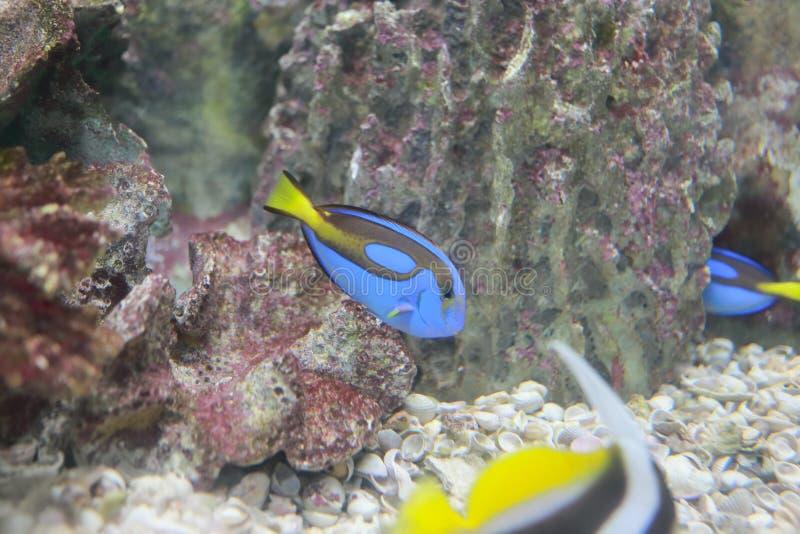 Sampietro (pesce) fotografie stock libere da diritti