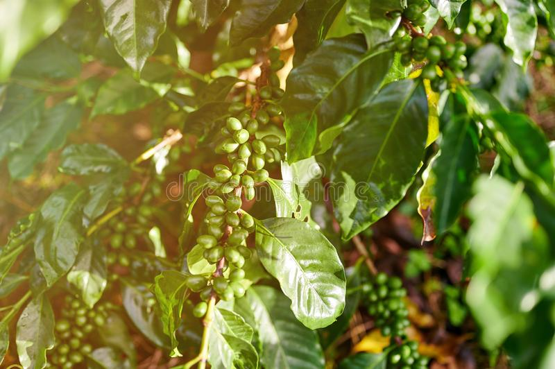 Sample of green coffee berries. On plant close up view royalty free stock photography