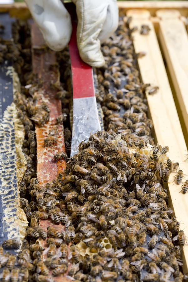 Colony of Honey Bees royalty free stock images