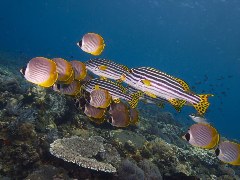 Samskola av filippinska orientaliska sweetlips Tulamben 02 för butterflyfish och för hav arkivfoto