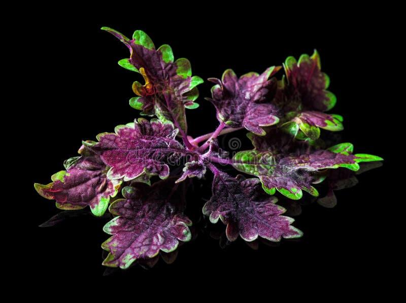 Samt purpurrot und grünes Nesselblatt, lokalisiert über Schwarzem stockbild