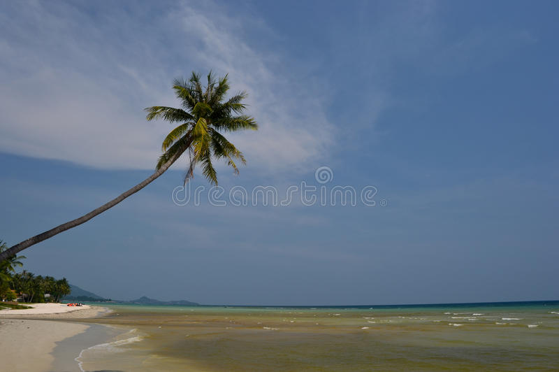 Samui beach coconut 1. Samui beach coconut palm tree stock photos