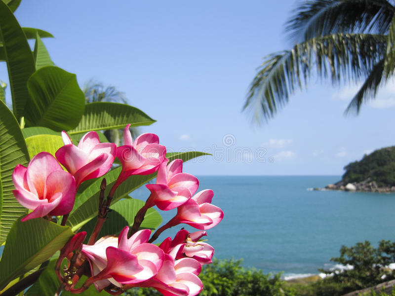 Samui tropical do koh das flores do Frangipani imagem de stock