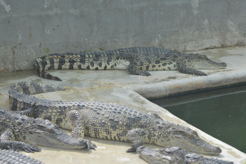 Samutprakan-Krokodil-Bauernhof lizenzfreies stockbild