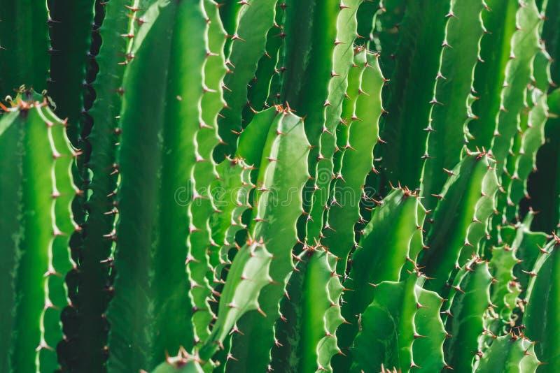 San asombroso hermoso Pedro Cactus en la fauna fotos de archivo libres de regalías