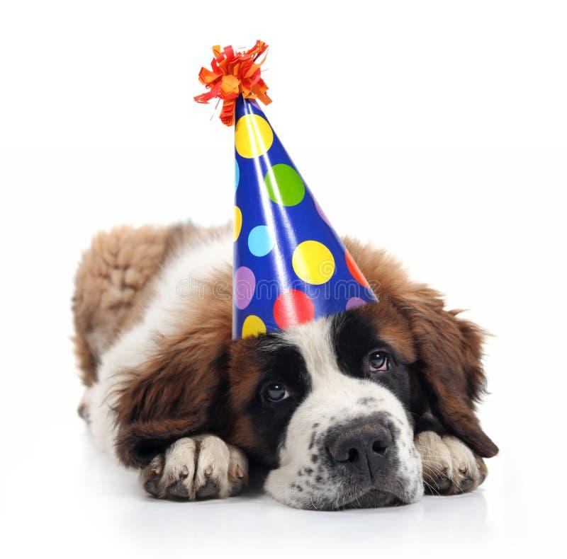 San Bernard che porta un cappello di compleanno del puntino di Polka immagini stock