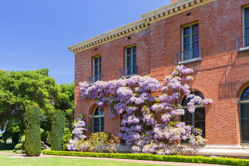 San Carlos, California, USA - May 05, 2019: Filoli estate in spring time  with purple wisteria climbing on the brick walls stock photography