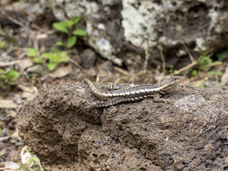 San Cristobal Lava Lizard, bivittatus de Microlophus, est passionné sur la pierre, San Cristobal, Galapagos, Equateur images stock
