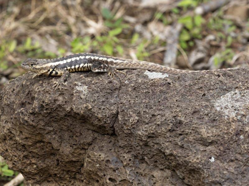 San Cristobal Lava Lizard, bivittatus de Microlophus, est passionné sur la pierre, San Cristobal, Galapagos, Equateur images libres de droits
