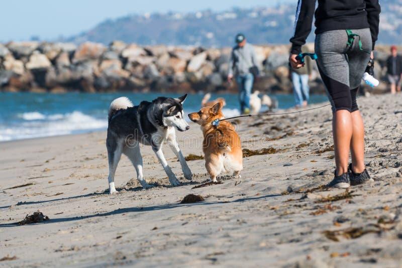 African American Woman Watches Corgi and Husky at Dog Beach. SAN DIEGO, CALIFORNIA/USA - FEBRUARY 19, 2018: An African American woman watches a husky and Corgi stock photos