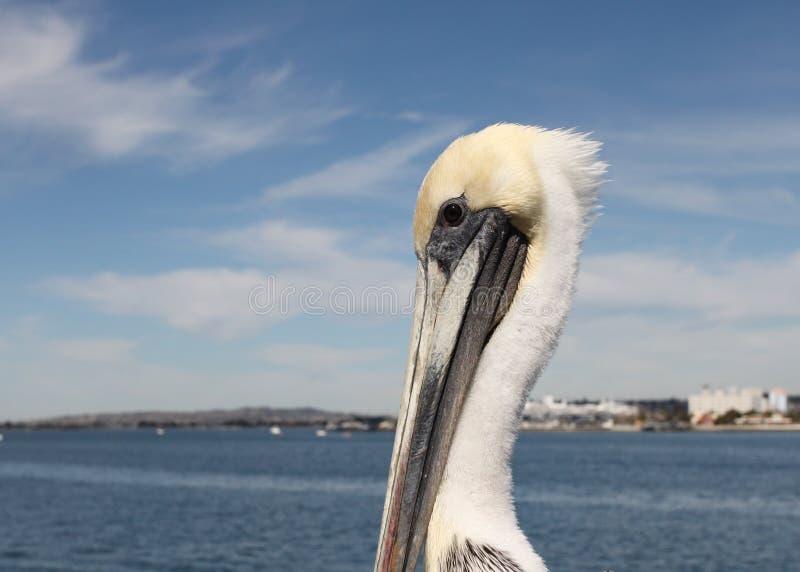 San Diego Pelican stock image