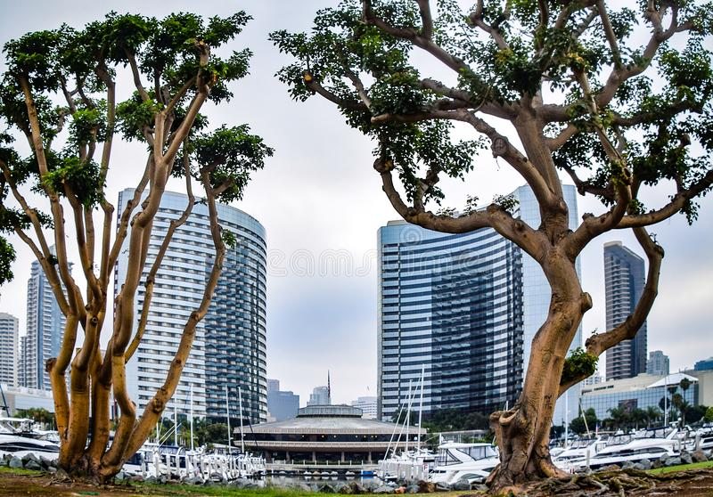 San Diego Skyline Framed by Trees. The syline was framed by these two trees as seen from Embarcadero Park in San Diego royalty free stock photography