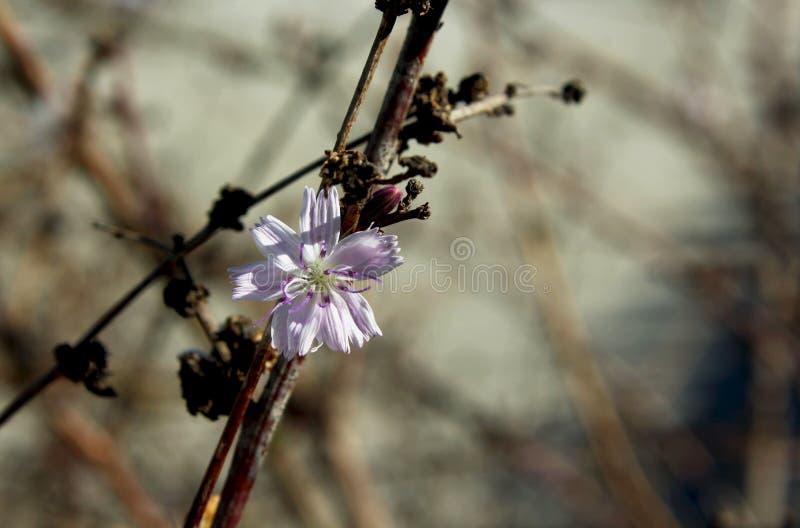 San Diego Wreathplant, Asteraceae, famille de tournesol photo libre de droits