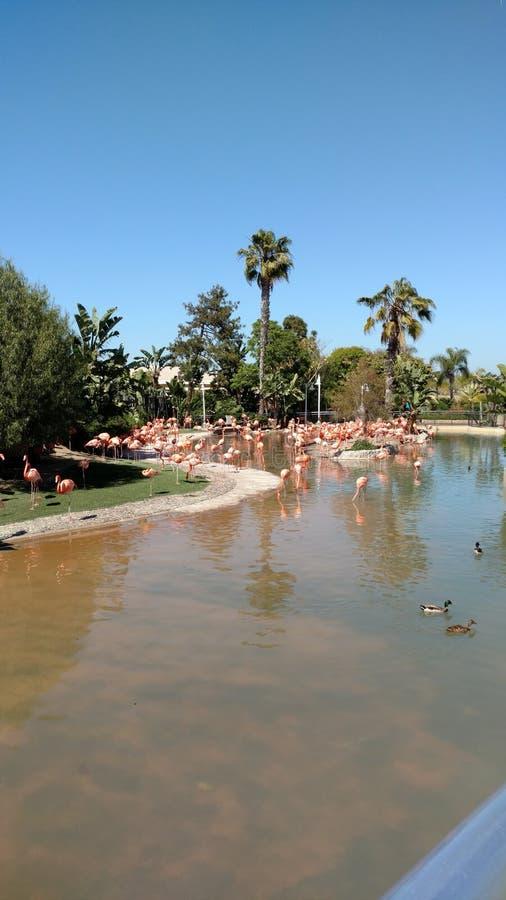San Diego Zoo Flamingos photos stock