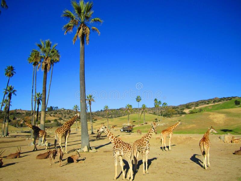 San Diego Zoo, gente y jirafa, turismo imagenes de archivo