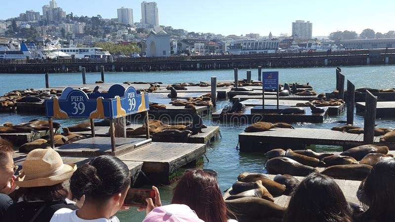 Pier 39 sea lions San Francisco royalty free stock photos