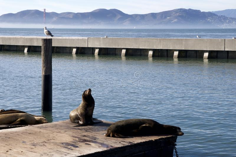 SAN FRANCISCO, CALIFORNIA, UNITED STATES - NOV 25th, 2018: Seal or sea lions at the Pier 39 of San Francisco with royalty free stock photos