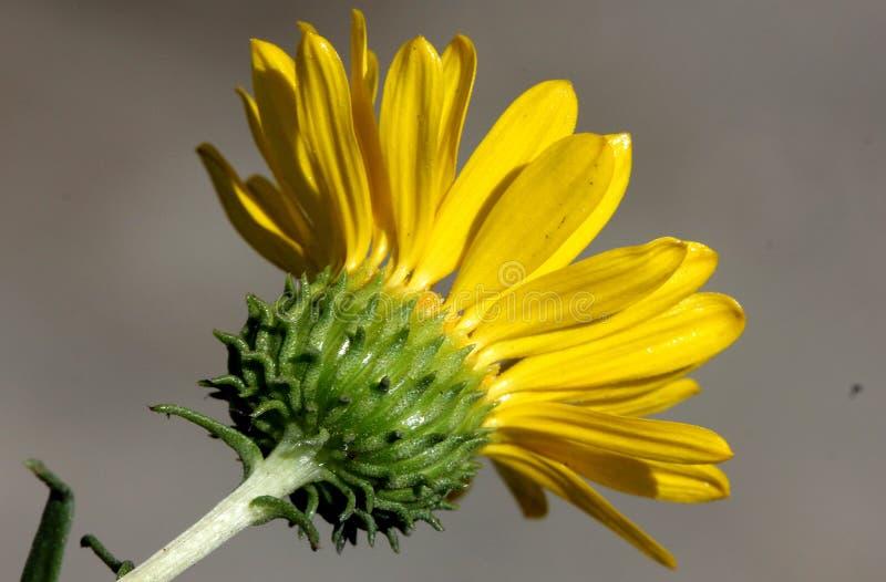 San Francisco Gumweed, stricta var do Grindelia platyphylla, imagens de stock