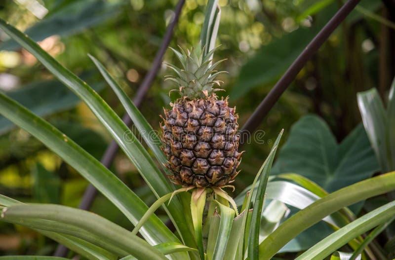 San Francisco Mini Pineapple In Park fotos de stock