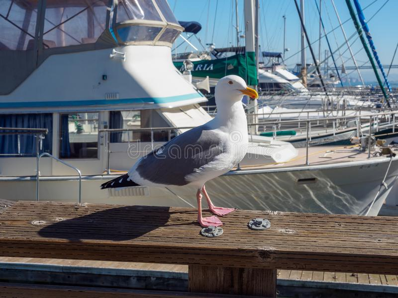 San Francisco Pier 39 seagull and seals at California royalty free stock images