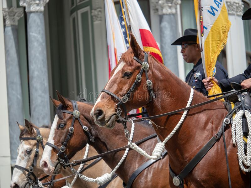 San Francisco Police Department horses from mounted patrol march royalty free stock photos
