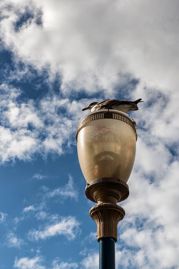 San Fransisco seagull i latarnia uliczna obrazy stock