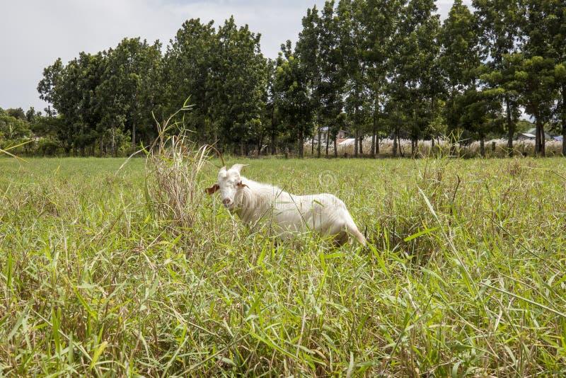 San leonardo nueva ecija goat stock photos