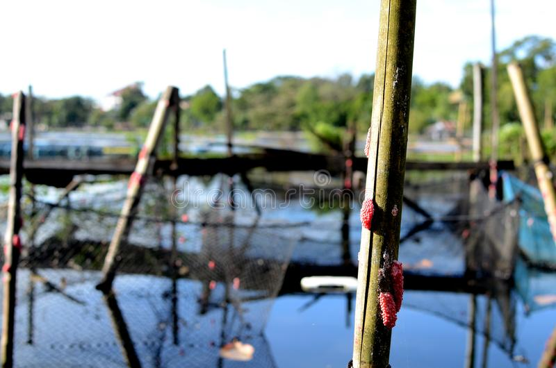 Bamboo poles snail eggs making up of lake fish cage environmental issues that destroy lake royalty free stock photo