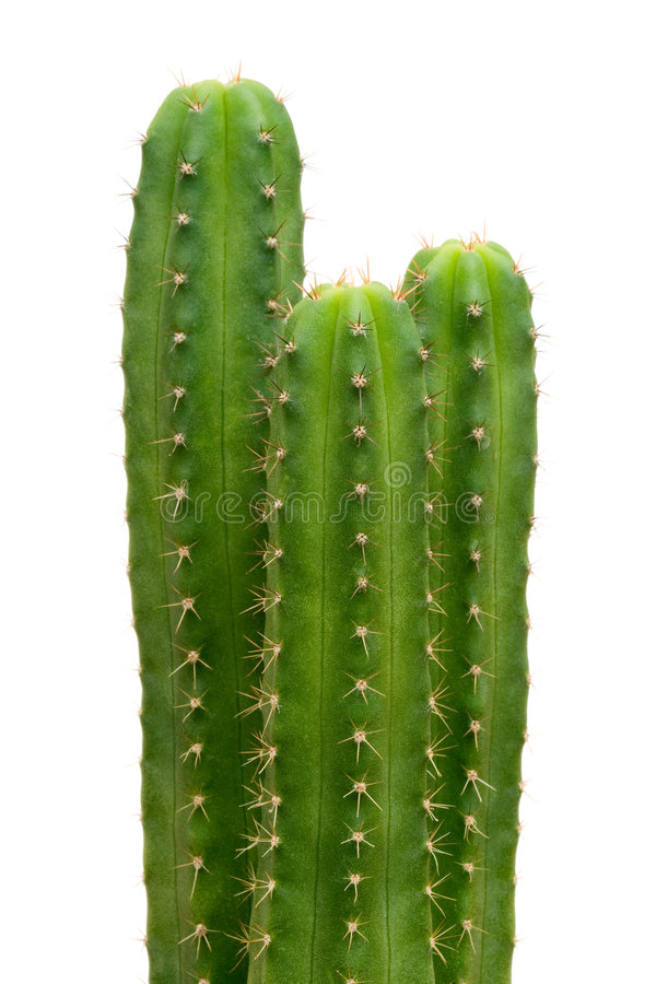 Free San Pedro Cacti Stock Photography - 5136552