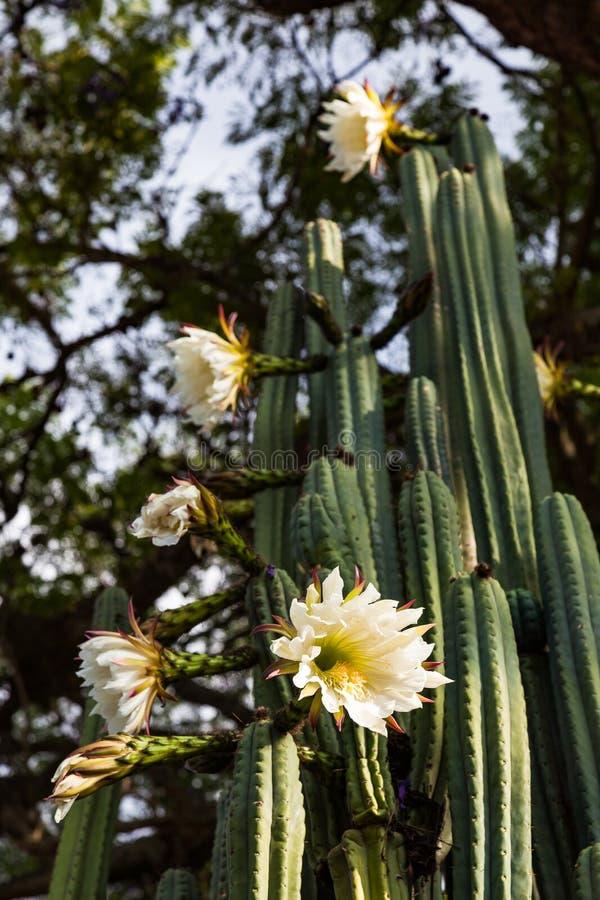 San Pedro cactus royalty free stock photos