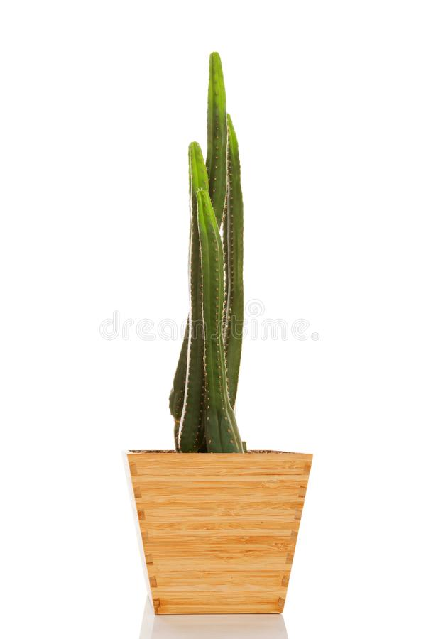 San Pedro cactus arkivfoto