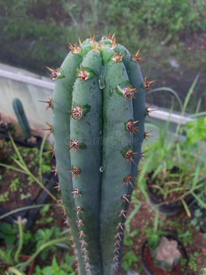 Free San Pedro Cactus Trichocereus Stock Image - 76029581