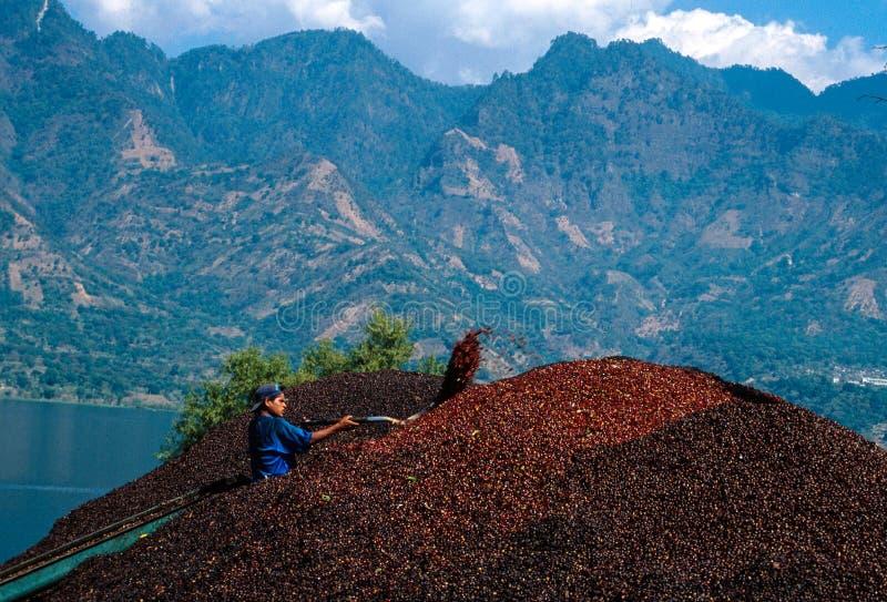 San Pedro Guatemala: Ung man som kastar coffekorn med en spade i ett skörda kooperativ royaltyfri bild