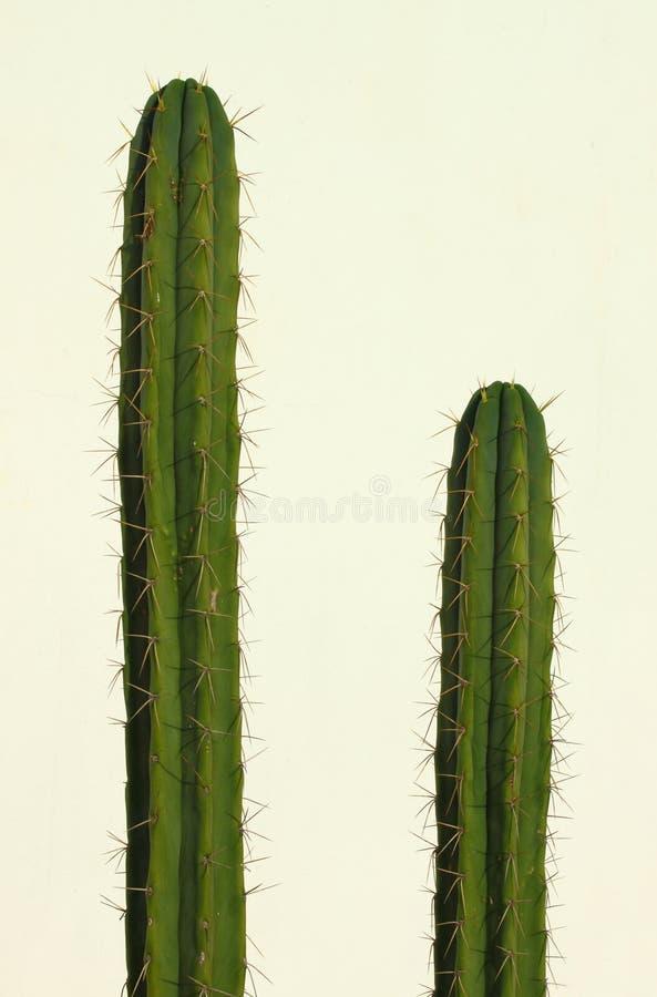 Download San Pedro kaktus obraz stock. Obraz złożonej z kaktusy - 28955905