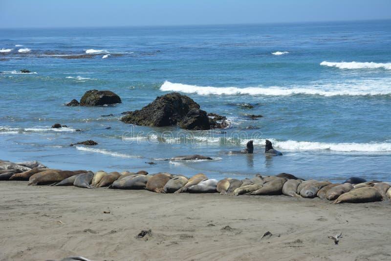San Simeon Elephant Seals - giugno immagine stock libera da diritti