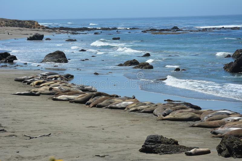 San Simeon Elephant Seals - giugno immagini stock libere da diritti