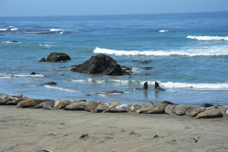San Simeon Elephant Seals - June royalty free stock image