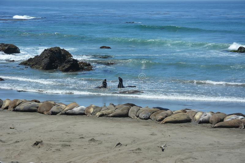 San Simeon Elephant Seals - June stock photo