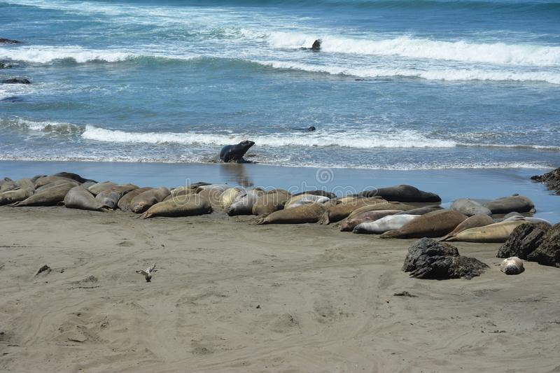 San Simeon Elephant Seals - June stock image