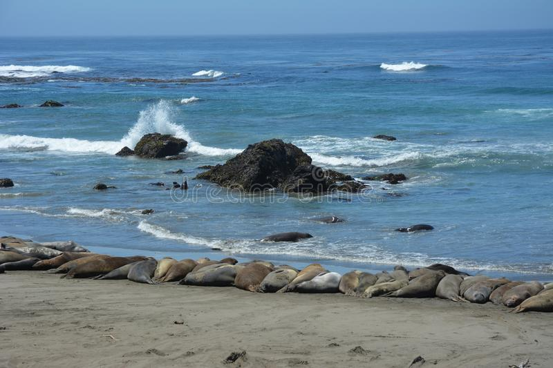 San Simeon Elephant Seals - June stock images
