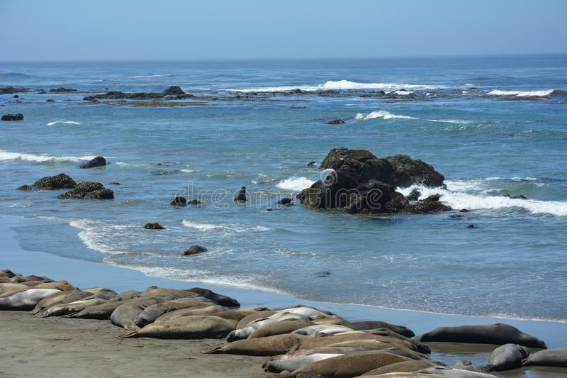 San Simeon Elephant Seals - June royalty free stock photography