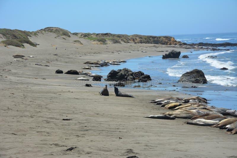 San Simeon Elephant Seals - junio imágenes de archivo libres de regalías